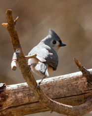 Lovely Titmouse  Photo by Andy Anderson