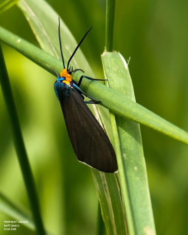 A Virginia ctenuchid moth.