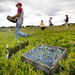 Wet summer weather boosts Maine's wild blueberry crop