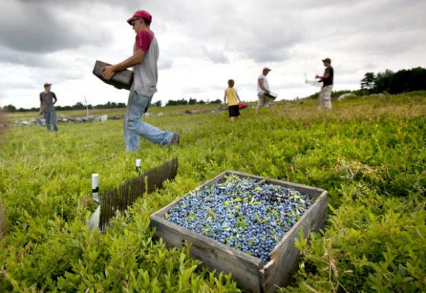 workers harvest wild blueberries at the Ridgeberry Farm in Appleton, Maine. Maine is the country''s top wild blueberry state.