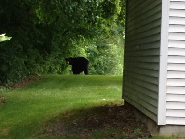 This black bear has been spotted in around the SAD 1 Education Farm in Presque Isle. Resident Brian Hamel got a look at the massive bear, estimated to weigh around 400 pounds, when it wandered up to his back deck last week.