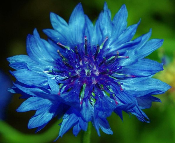 Blue cornflower photo by Mary Osborne