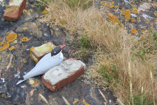 Two bricks prop up a wooden decoy tern. Interns have set up many fake birds on Metinic Island since the 1,400-seabird population abandoned the island earlier this summer. The U.S. Fish and Wildlife Service also has automated recordings of terns playing on the island to try to attract the birds back.
