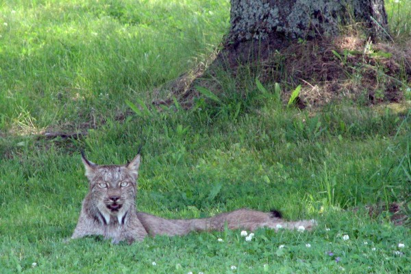 This Canada lynx has earned celebrity status in Aroostook County as this photo, taken by Leslie Jackson of Washburn, has been a social media hit. Jackson spotted the cat on July 15 near the Washburn/Caribou line on Route 164.