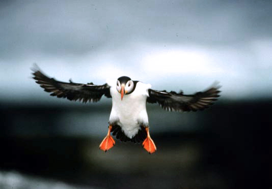 A puffin mid-flight