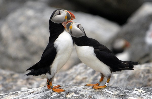 Rockland- July 19th: Puffin and Seabird Summer Workshop Series ...