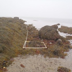 Rockweed, Ascophyllum nodosum – a seaweed that provides critical habitat on Maine's rocky shores – is associated with natural lobster nurseries, such as the one marked here by the line and square at one of The Lobster Conservancy's research sites on Friendship Long Island.