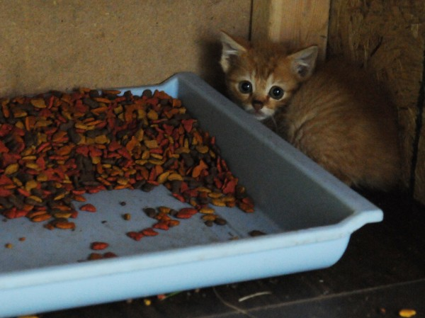 A feral kitten cowers in a makeshift feeding shelter set up near Hobson Avenue in Veazie on Tuesday, July 10, 2012. The lower end of Hobson Avenue has numerous trailers under which an apparently large number of feral cats have taken refuge.