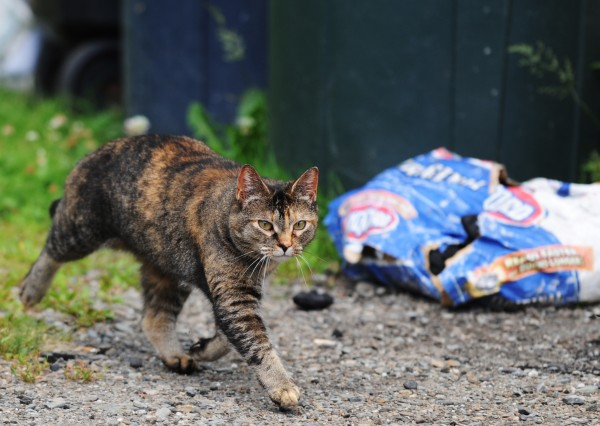 A feral cat roams near garbage cans on Hobson Avenue in Veazie on Tuesday, July 10, 2012. The undersides of  numerous trailers on that street have become home to about 30 feral cats.