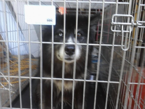 Mia, a wolf-canine hybrid that is being held at an animal hospital in Brunswick, was captured on Monday, July 2, 2012, in Waldoboro after she raided a chicken coop.