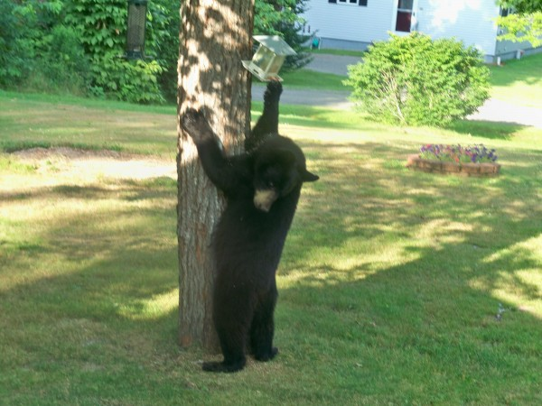 Hungry Bear in Hudson