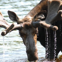 MDOT projects to reduce number of moose-vehicle accidents show varying degrees of success
