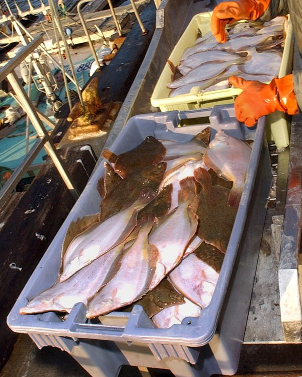 Tubs filled with mostly yellowtail flounder from a day's catch are being off-loaded at a dock in Gloucester, Mass., in this 2006 photo. Strict groundfish limits are expected to dramatically lower the allowable catch in the coming months.
