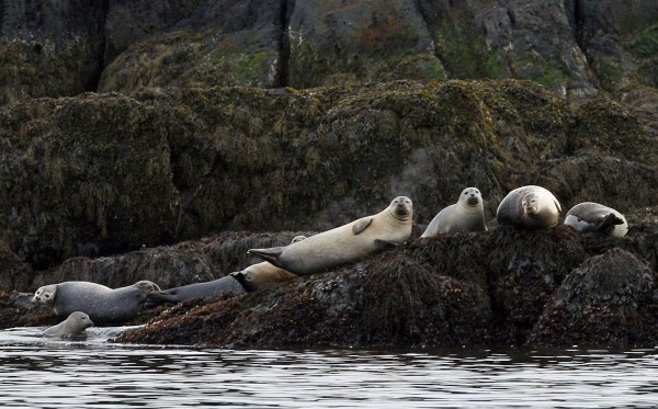 Harbor seals rest on a ledge off  Camden, Maine, in April. On a three-day cruise the Mary Day's passengers saw seals, porpoises and several types of seabirds.