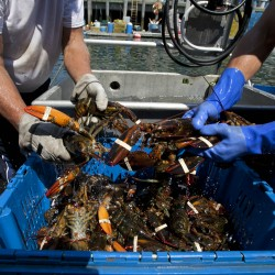Cruise ship docked in Portland takes on load of Maine lobster