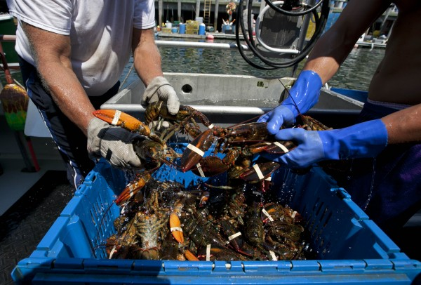 Lobsters are unloaded from a fishing boat earlier this month in Portland.