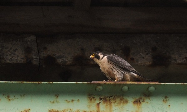 A peregrine falcon on the old Waldo-Hancock Bridge in June 2009.