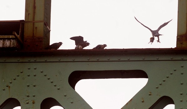 Young peregrine falcons scramble as one of the adult birds (right) returns with food in June 2009.  The birds wee nesting in a box installed on the Prospect side pilon of the old Waldo-Hancock Bridge.