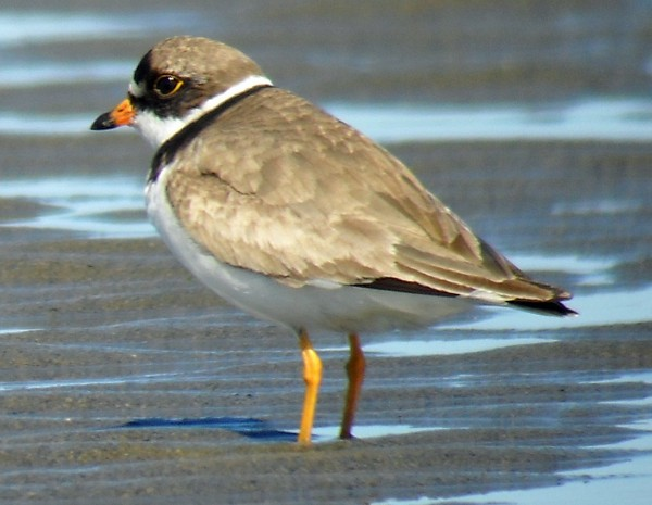 When identifying birds like this one, Bob Duchesne lives by a simple rule: Every plover  is a semipalmated plover, unless it's not. In this case, it is.