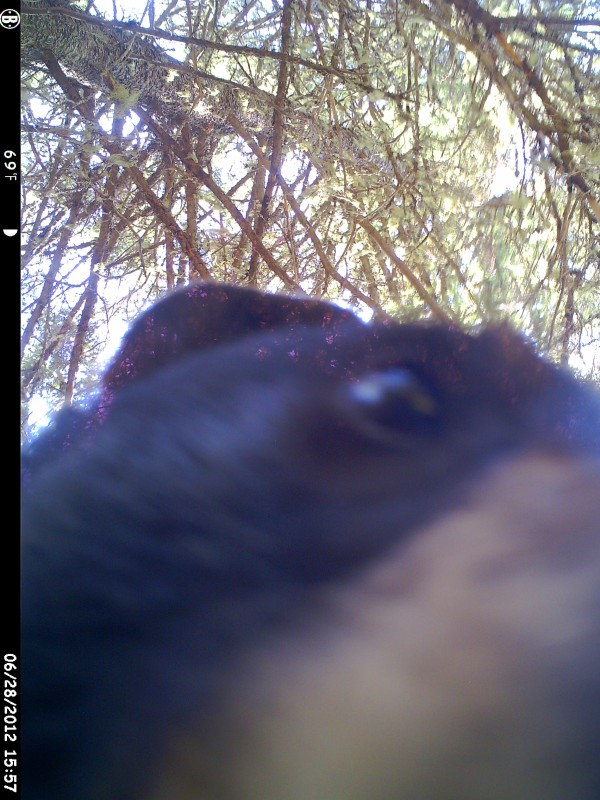 This bear is definitely ready for its closeup as it stares into the lens of a game camera. According to the date and time stamps on the camera's memory card, the bear began knocking the camera around moments after this photo was snapped.