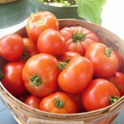 A basket of tomatoes picked last weekend includes Early Girl and Celebrity, along with a Pruden