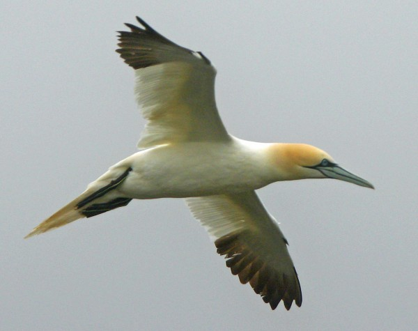 Northern gannets are the largest pelagic bird to be seen offshore. Its wingspan can exceed five feet, and it feeds by &quotplunge-diving&quot from heights of up to 130 feet.