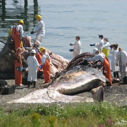 Dead sperm whale found off Schoodic Point, brought to COA for study