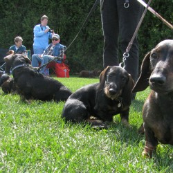 Dachshunds' parade