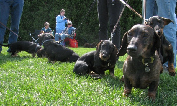 Not all the dachshunds were lap dogs, according to Susanne Hamilton of Montville, who brought her pet to the seventh annual Belfast Wienerfest in 2010. These wire-haired dachshunds were bred to be hunters and trackers. They and can run for miles in the woods to find wounded deer, she said.