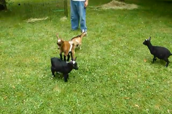 "Kathryn Harnish and her husband, Rob Lawless, who operate Took A Leap Farm in Houlton, a small goat dairy farm and state-licensed creamery, thought friends would love to see Buttermilk, their boisterous 5-week-old dwarf goat, play with some goat friends. Before they knew it, Buttermilk had commanded a YouTube audience of more than 1.3 million people and the video was featured on the ""Today"" show and other online sites."