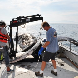 College of the Atlantic students, staff dissect 50-foot sperm whale