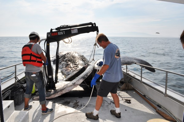 The crew from College of the Atlantic's MV Osprey secure the dead sperm whale discovered by local fishermen off Schoodic Point on Tuesday, Aug. 14, 2012. The whale was towed to an offshore dock near the college for study.
