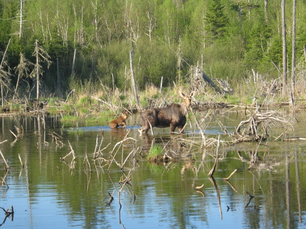 A newborn moose calf and its mother are interrupted while feeding along the Allagash Wilderness Waterway.