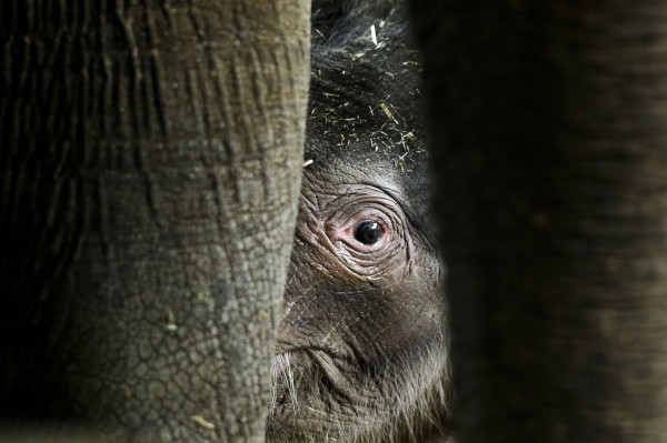 A newborn Asian elephant calf Anachli with her mother, at the official presentation at the Zoo in Berlin on Wednesday, Aug. 15, 2012. Anachli was born on Sunday, Aug. 12, 2012.
