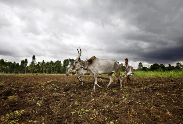 An Indian farmer plows his field near Mandya about 69 miles southwest of Bangalore, India on Monday, Aug. 6, 2012. India's Meteorological Department said last week it expects the country to get at least 10 percent less rain this June-to-September monsoon season. The shortfall also is expected to swell electricity demand in a power-starved nation as farmers turn to irrigation pumps to keep their fields watered.