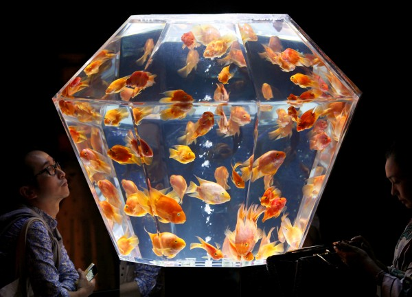 Visitors watch &quotkingyo&quot, or goldfish, swimming in a polyhedral aquarium on the opening day of the Art Aquarium Exhibition in Tokyo on Friday, Aug. 17, 2012. The annual exhibition produced by Hidetomo Kimura was the collaboration of Japan's old Edo period atmosphere, modern technology and the kingyo, the organizer said.