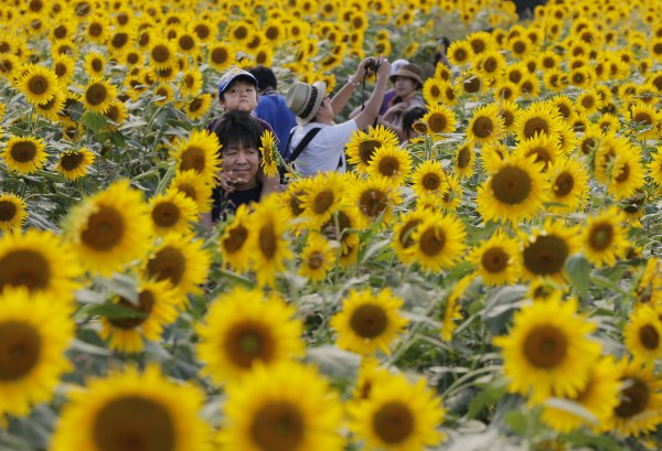 Yuto Ono, 3, sitting on his father's shoulders goes through a field of sunflowers at a park in Zama, west of Tokyo on Friday, Aug. 17, 2012.