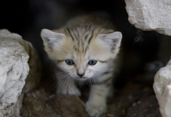 One of four 3-week-old newborn sand cats, peers from a cave in the Ramat Gan Safari near Tel Aviv, Israel on Tuesday, Aug. 14, 2012. The Safari spokeswoman reported a total of seven sand cats currently living in captivity in Israel, and said the country's sand cat population had been completely extinct, mostly due to habitat destruction.