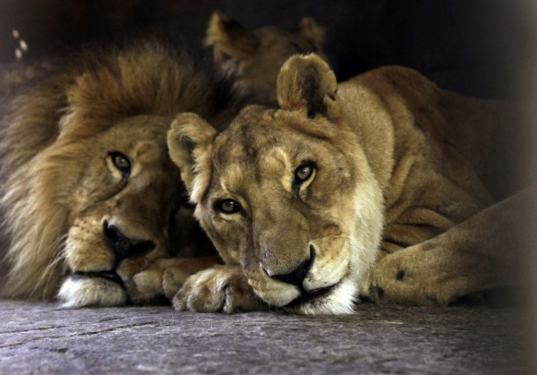 Two circus lions rest in their cage on zoo grounds, in Asuncion, Paraguay on Tuesday, Aug. 28, 2012. The lions are two of the seven African lions and nine Bengal tigers from an Argentine circus that were stuck in a Paraguayan border town for two months and recently moved to a shaded area at the Asuncion Zoo where Paraguay's wildlife agency hopes they will be more comfortable as circus owners and Argentine officials work out the circus animals' paperwork for re-entry.
