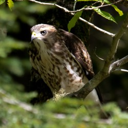 NY will monitor ailing Violet via 'Hawk Cam'