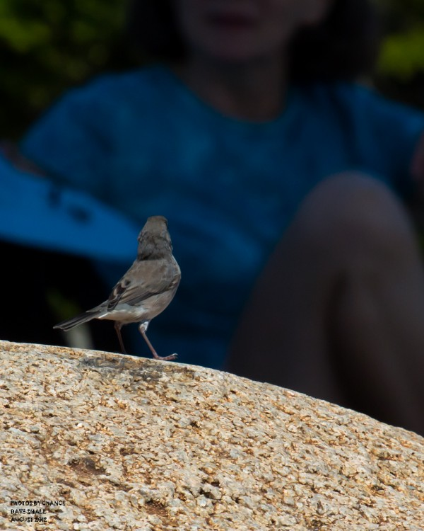An unexpected composition taken on Beech Mountain at Acadia National Park. The dark-eyed junco seems to be interested in the background observer.