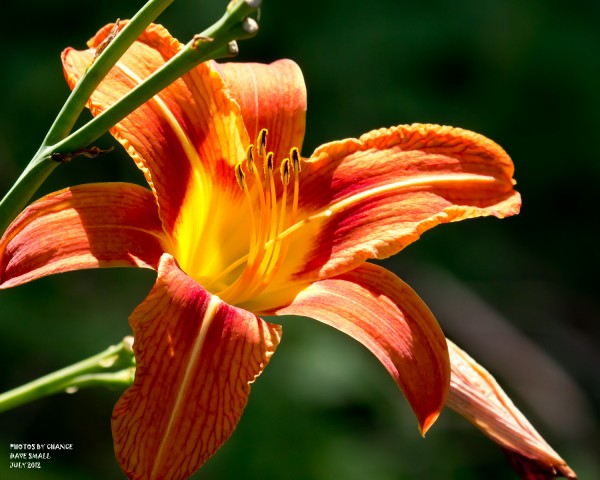 Day lily in bloom.