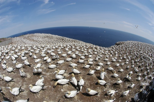 More than 60,000 mated pairs of northern gannets call the crags and plateau of Bonaventure Island in Quebec their summer home. The province's Parc National de L'ile-Bonaventure provides the most accessible place on the planet to observe the birds in their natural habitat.