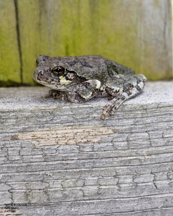 A gray tree frog