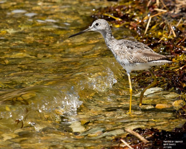 A lesser yellowlegs at Cape Rosier.