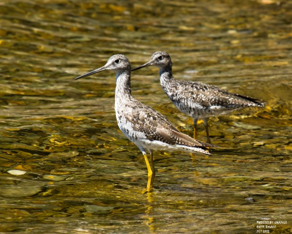 Lesser yellowlegs.