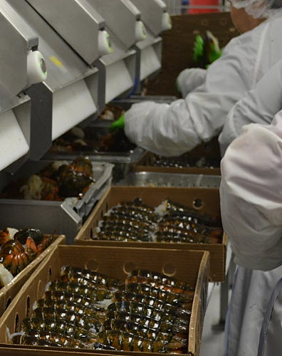 A computerized grader (upper left) helps workers sort lobster tails at Cozy Harbor Seafood's shellfish processing plant in Portland in Nov. 2011. According to John S. Norton, president and CEO of Cozy Harbor Seafood, Inc., his company is the largest processor of lobster in the state.