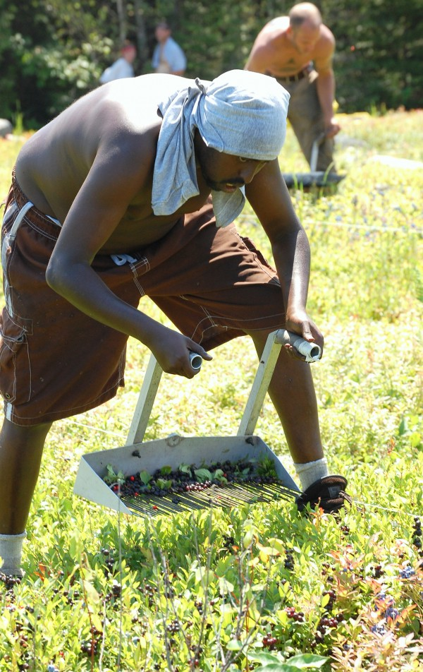 Ahmed Shaur is a long way from his native Somolia, but has found that raking blueberries in the hot sun of Washington County is a great way to shed a few pounds.