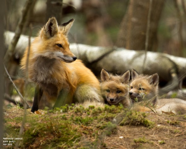 A mother fox tends to her kits in an Old Town neighborhood in May.