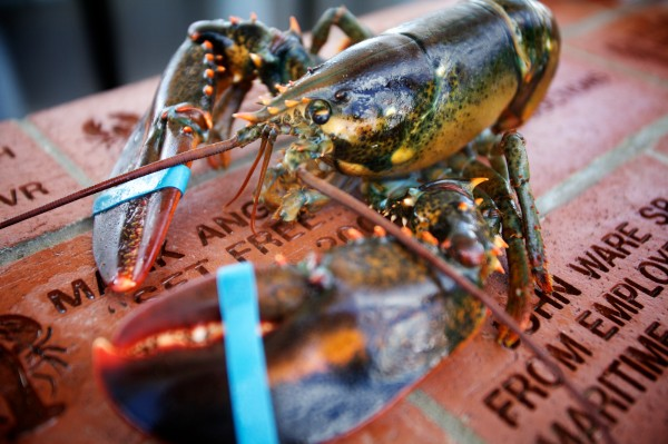 A lobster bound for the table at the 65th annual Maine Lobster Festival in Rockland Wednesday, August 1, 2012.
